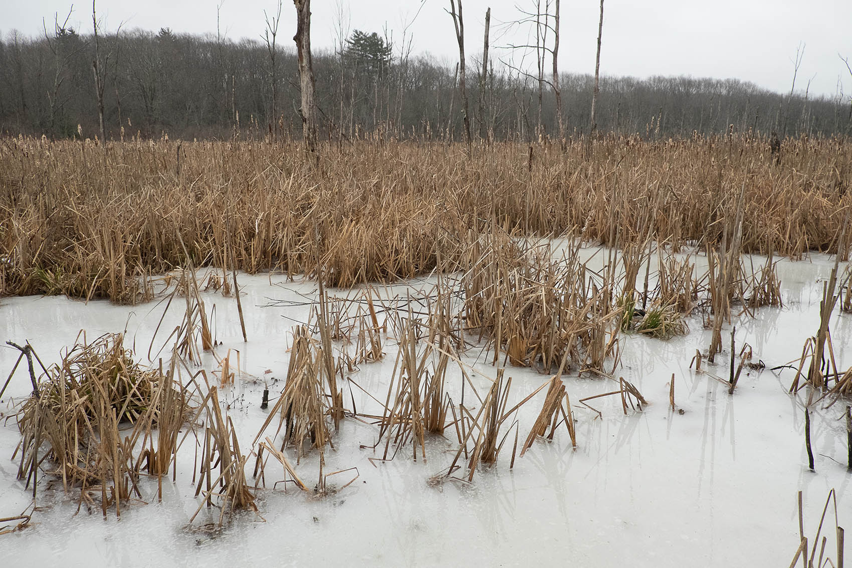 Winter ice and reeds at Mary Cummings Park
