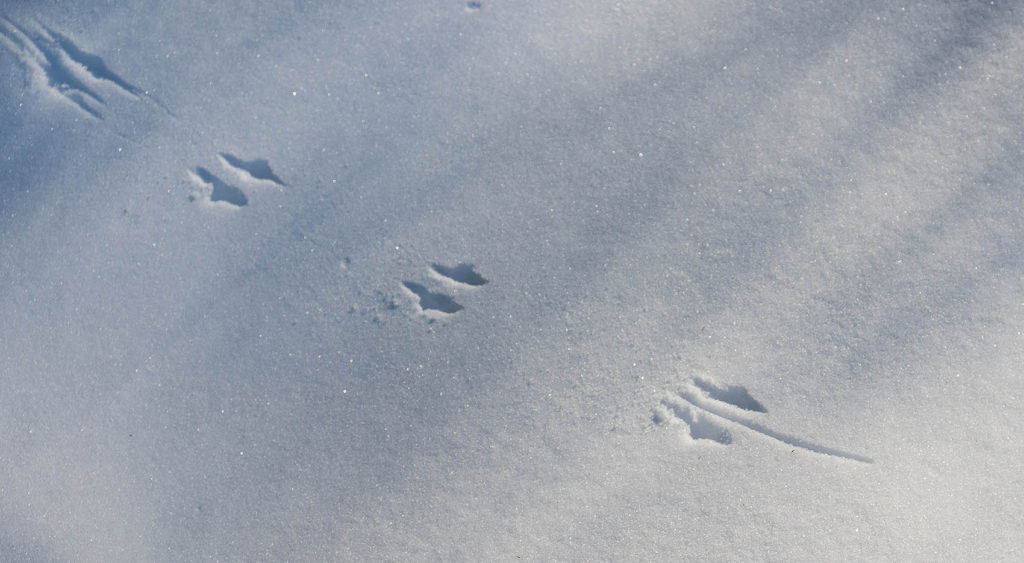Mouse tracks in fresh snow at Mary Cummings Park