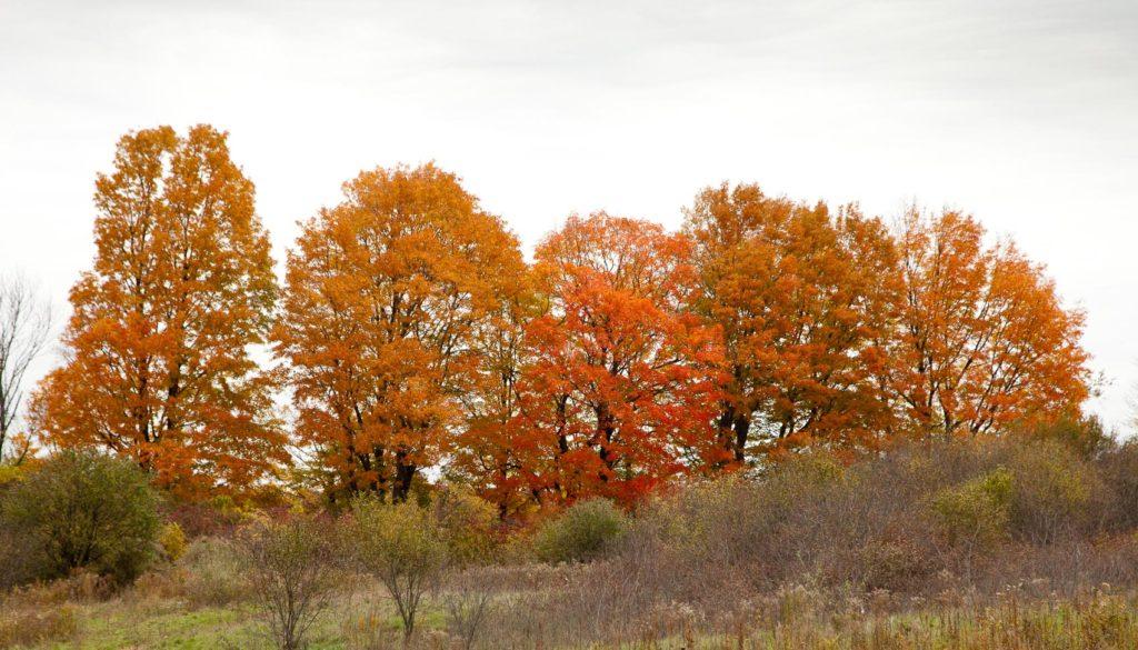 Fall maples at Mary Cummings Park