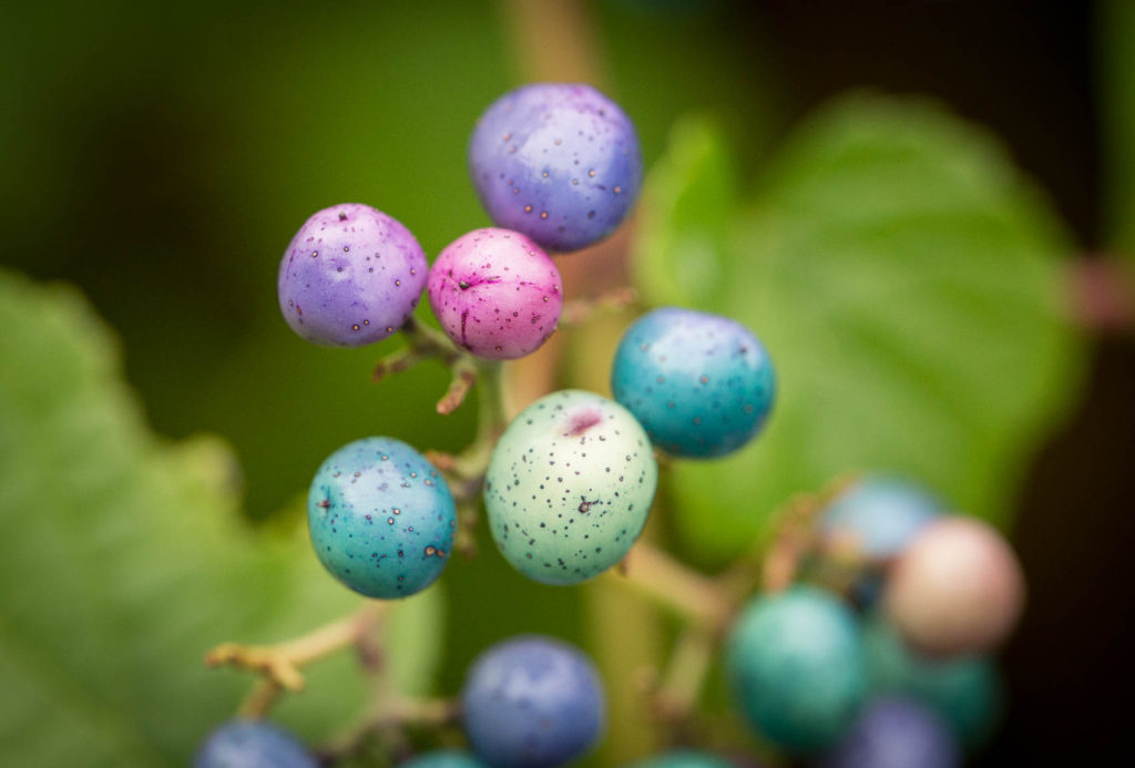 colored berries