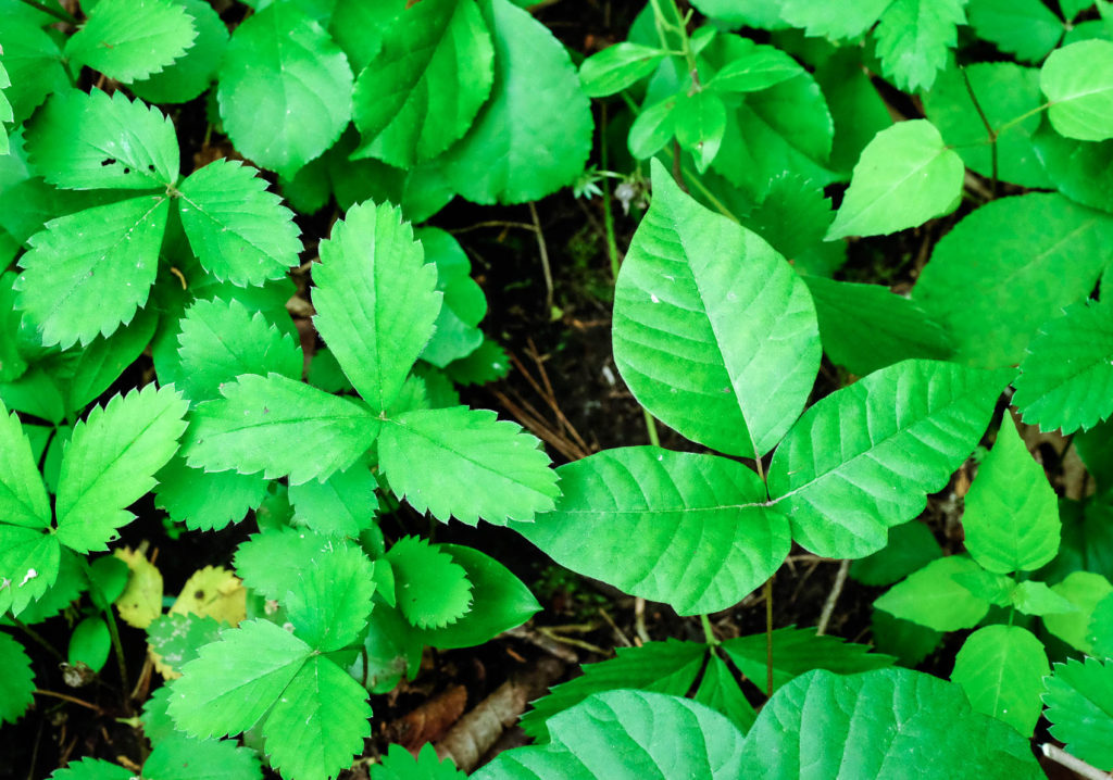 wild strawberry contrasted with poison ivy