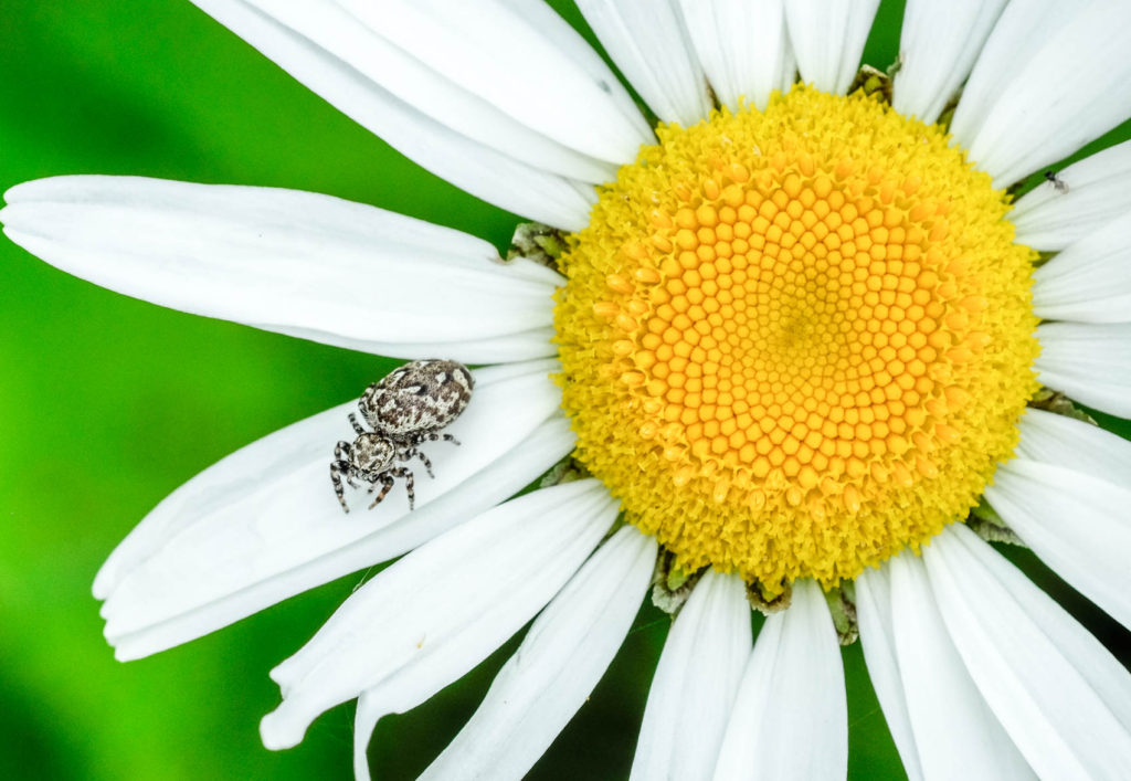 spider on daisy