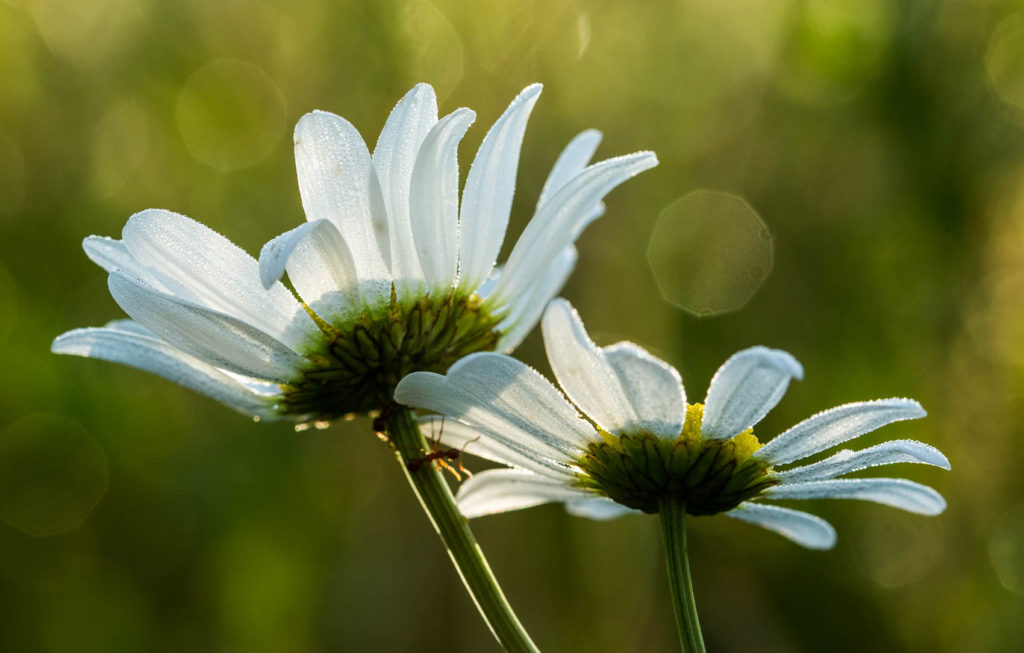 water droplets on daisies