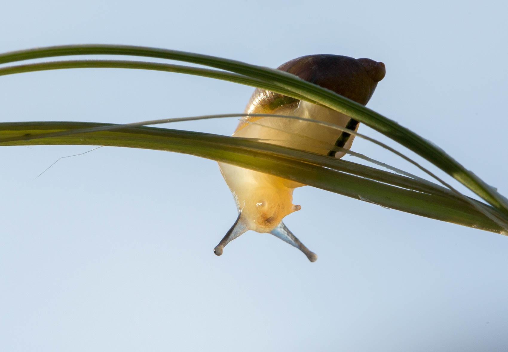 snail on grass stem