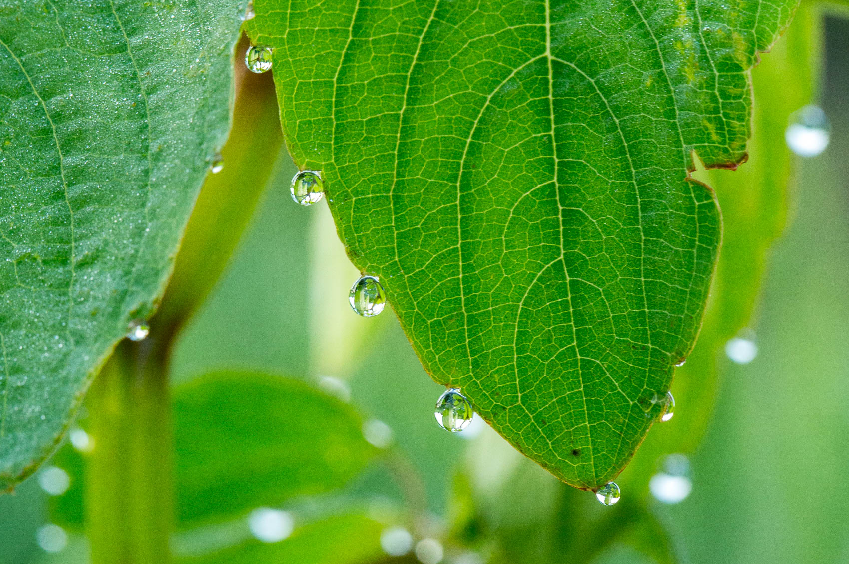 water droplets on jewelweed