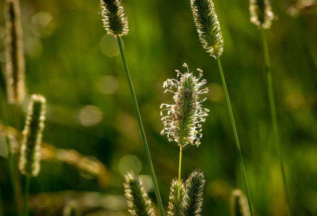 grass seeds on the stem