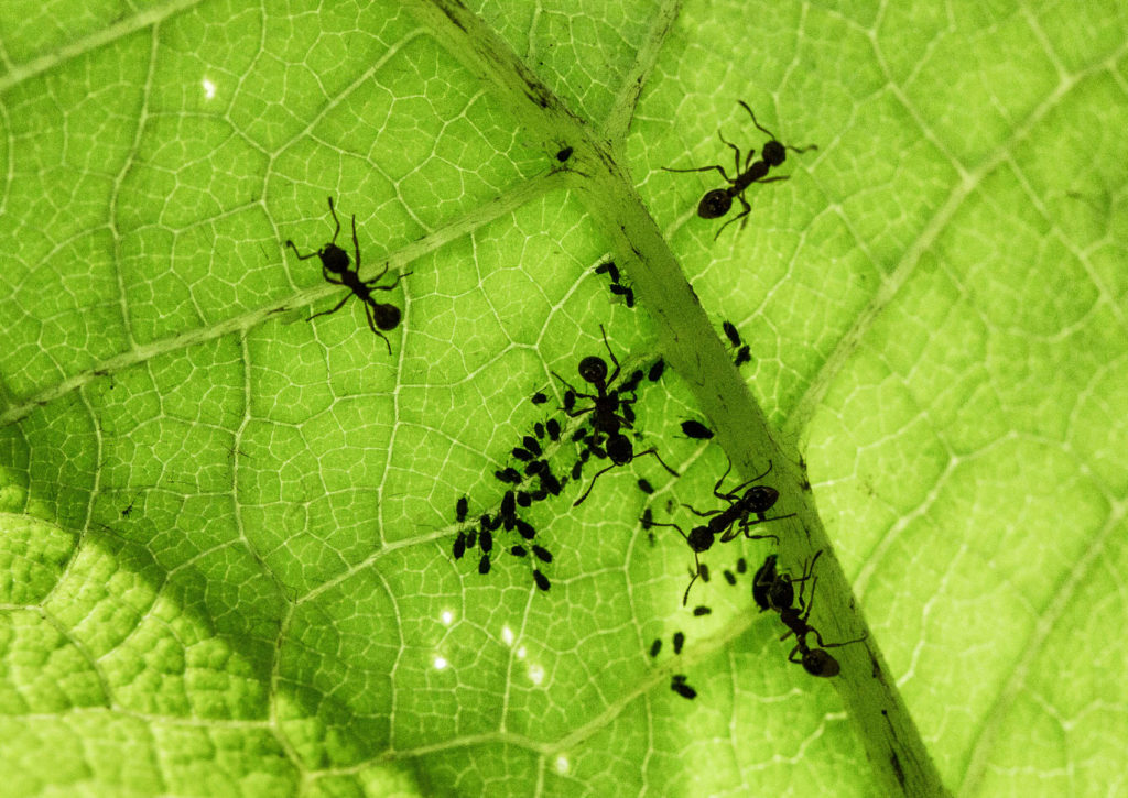 ants tending aphids