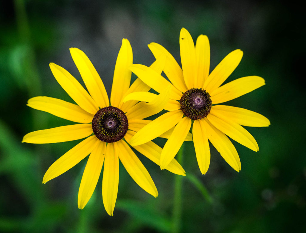 two black-eyed susan flowers