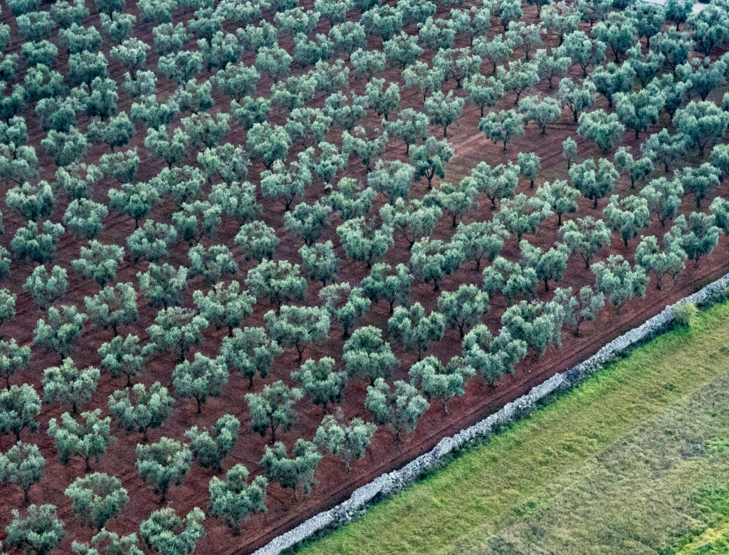 Aerial of Olive Grove in Puglia, Italy
