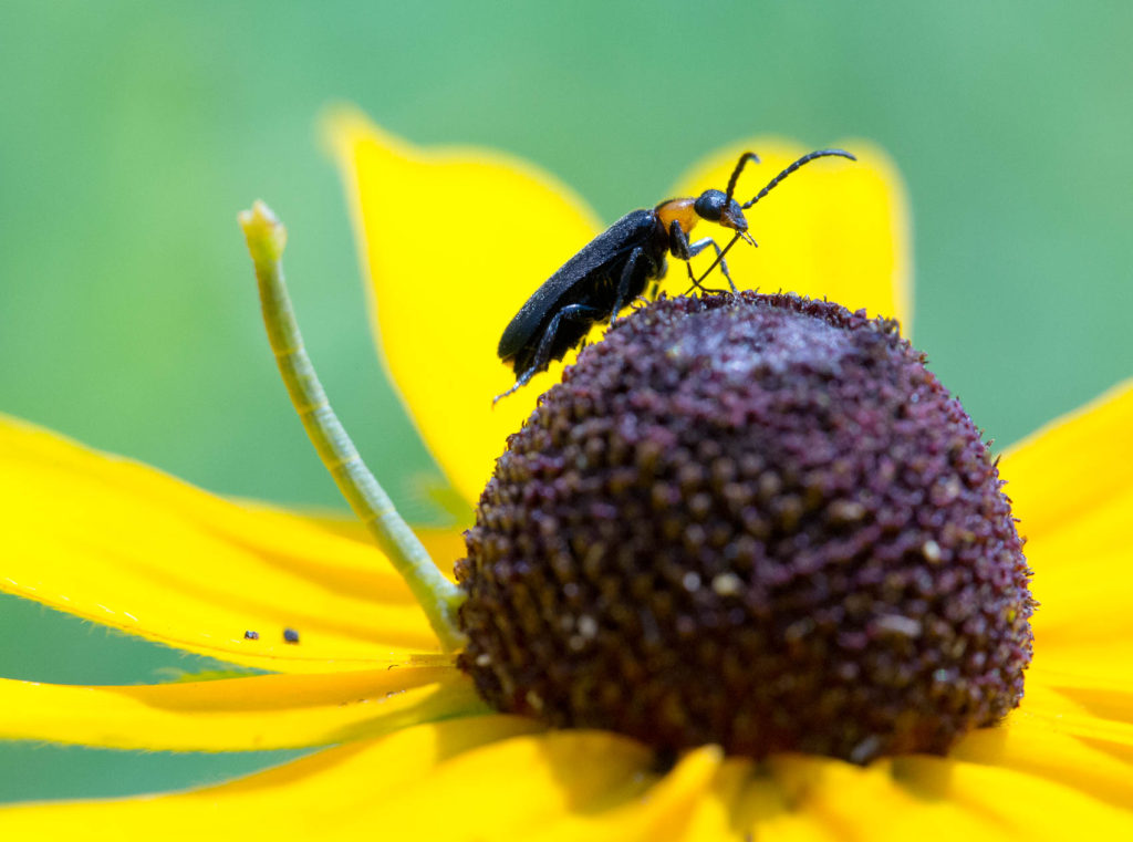 beetle and inchworm on blackeyed susan