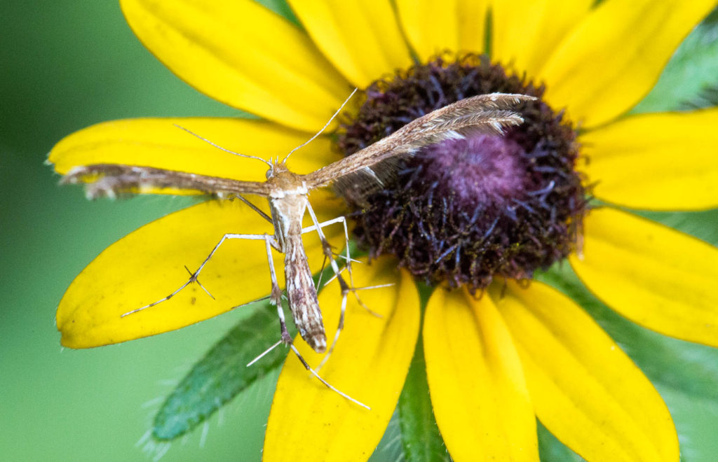 Insect on black eye susan