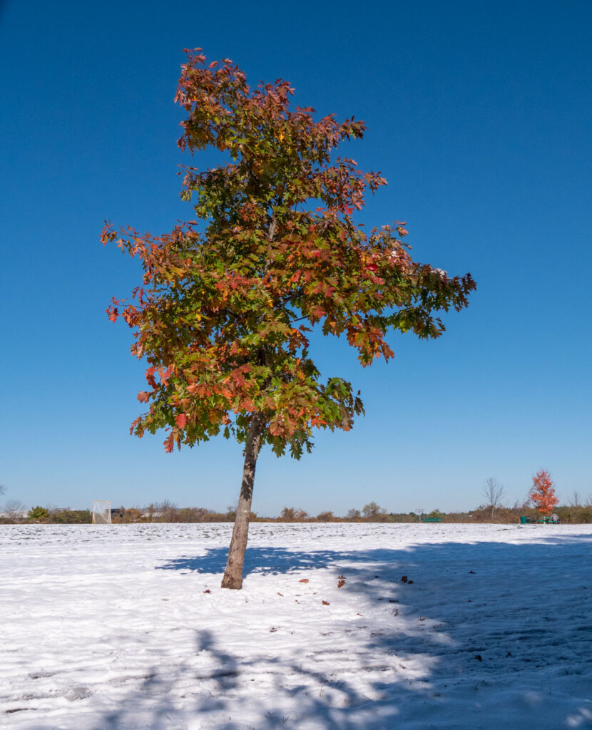 Oak tree with green and red leaves plus snow