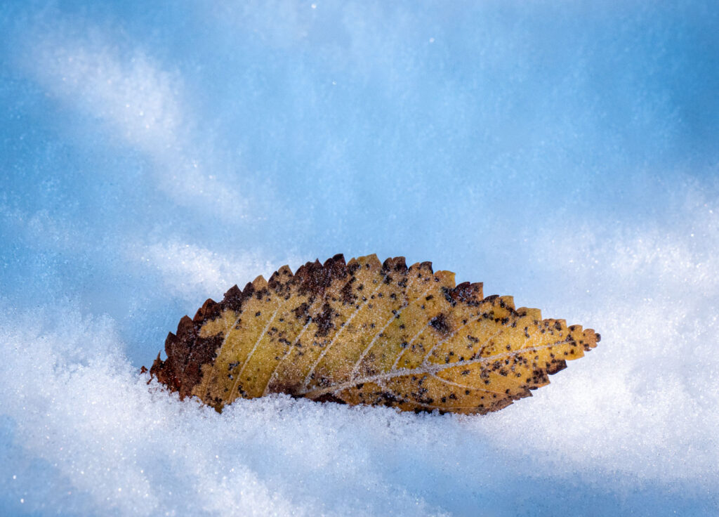 Leaf with icy texture.