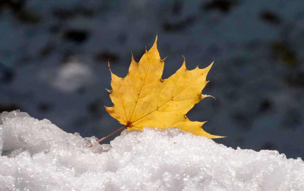 Maple leaf lands on snowy branch.