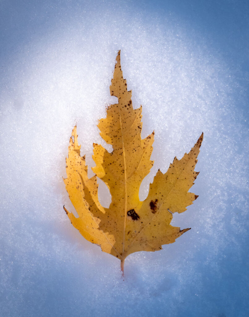 Golden maple leaf nestled in the snow.