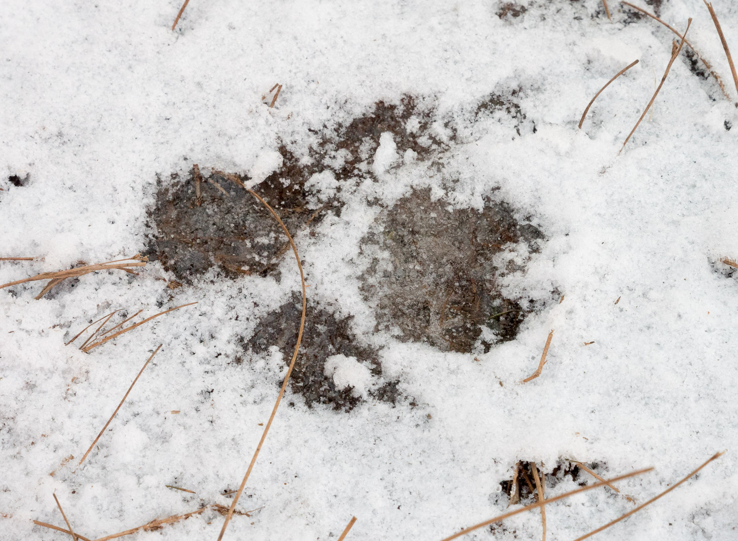 A dog track, Nick explains, is different from bobcat, since bobcat claws are withdrawn and don't leave marks.