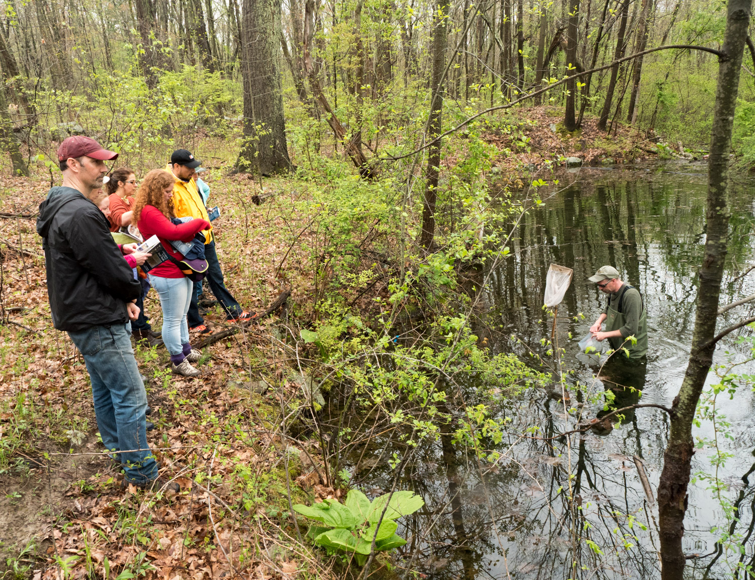 Finding the eggs of spotted salamander at Mary Cummings Park