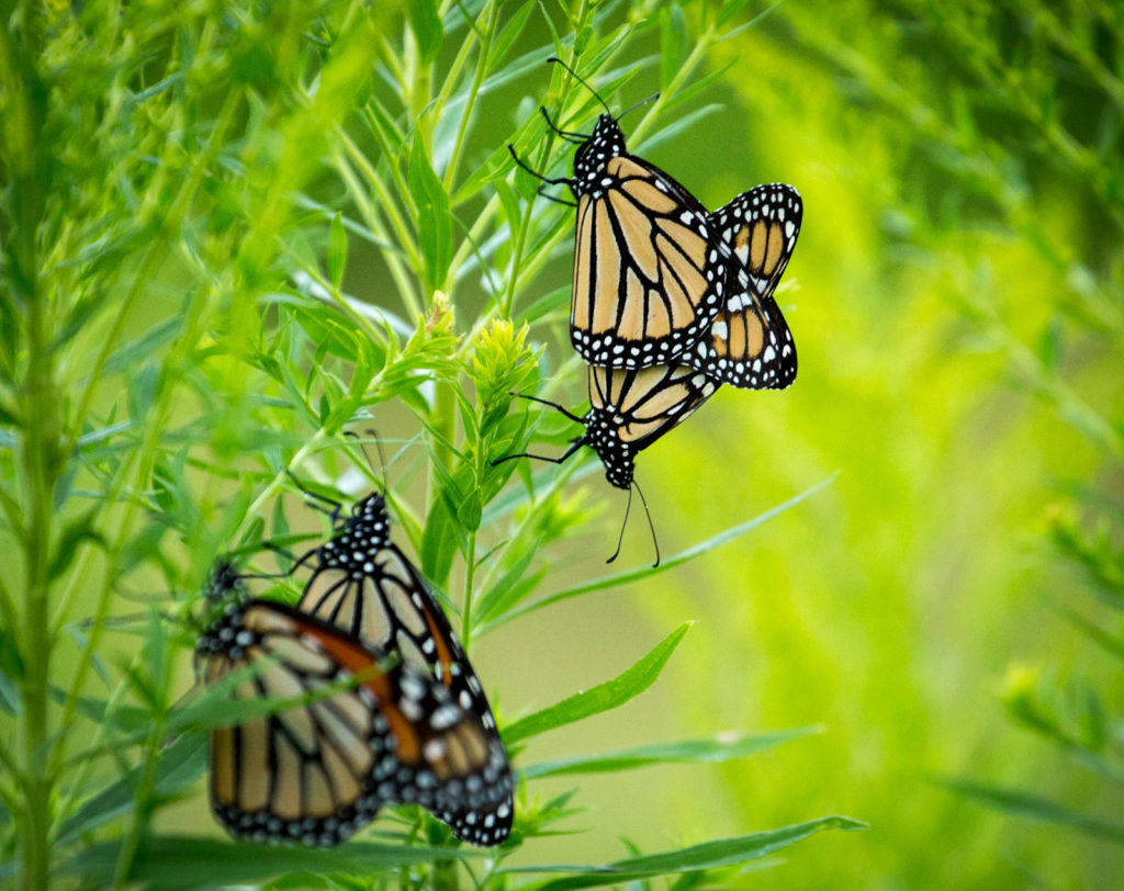 Monarch Mating Madness