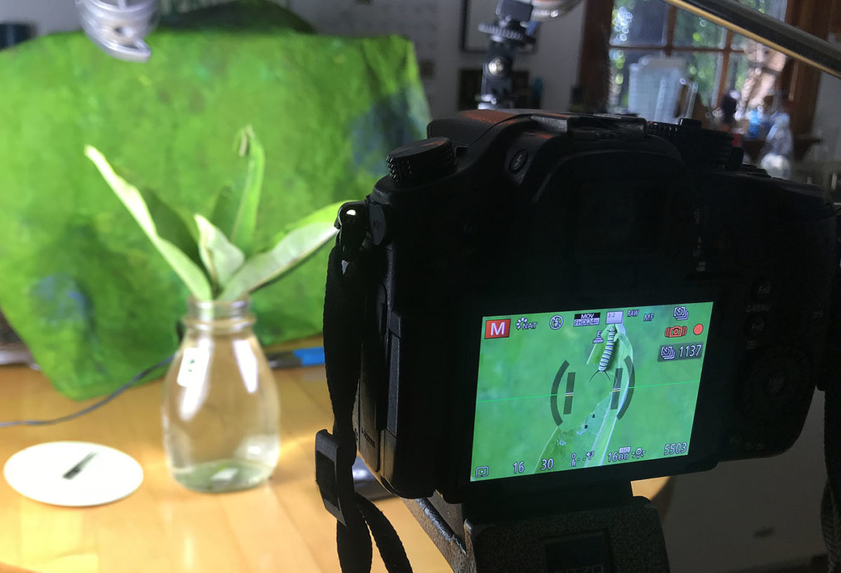 monarch caterpillar on camera