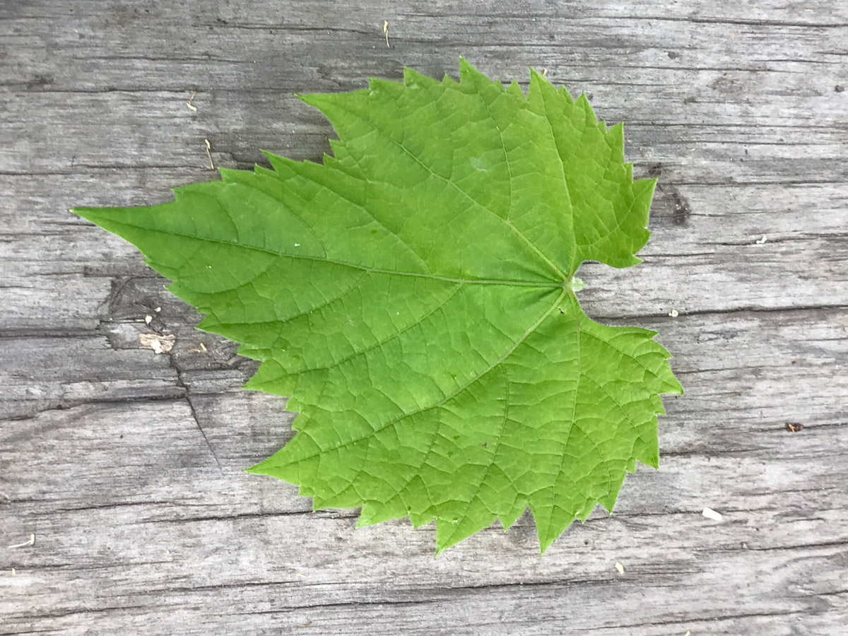 Putting a grape leaf on a plain background to make the ID easier for the iNaturalist algorithm.